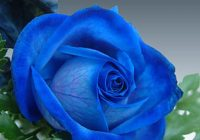 Royal Blue Roses And 7 Other Fragrant Roses To Perfume Your Garden